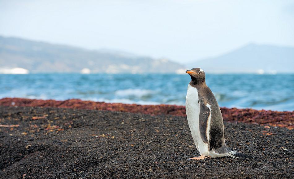 Eselpinguine sind die drittgrösste Pinguinart. Eigentlich sind sie Bewohner der Subantarktis, doch mittlerweile haben sich die Tiere bis auf den antarktischen Kontinent ausgebreitet, um zu brüten. Bild: Stefan Gerber