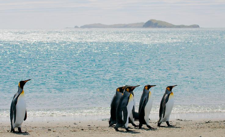 Königspinguine sind die zweitgrösste Pinguinart und leben auf den subantarktischen Inseln des