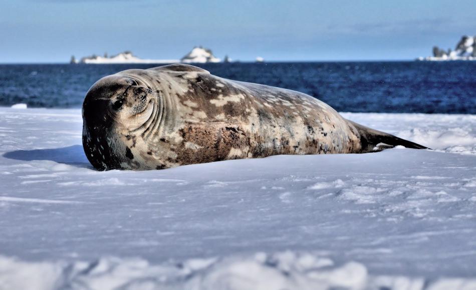 Weddellrobben sind echte Antarktika-Bewohner und leben das ganze Jahr an der Eiskante und im Küstenbereich. Sie widerstehen auch tiefsten Temperaturen und können lange tauchen dank ihrer dicken Speckschicht. Bild: Michael Wenger