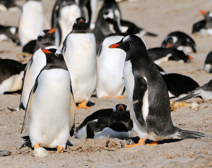 Eselspinguine sind die drittgrösste Pinguinart und werden bis zu 75 cm gross und 7 kg schwer. Sie
