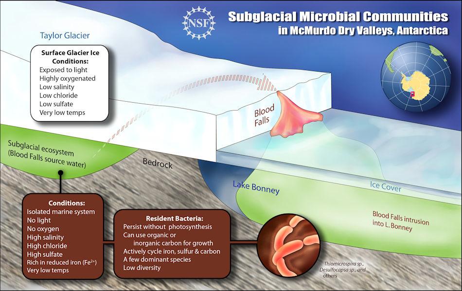 Dieser schematische Querschnitt der Blutfälle zeigt, wie subglaziale mikrobielle Gemeinschaften in Kälte, Dunkelheit und Abwesenheit von Sauerstoff für eine Million Jahre in Salzwasser unter dem Taylor Gletscher überlebten. Braun: Mikrobengemeinschaft, weiss: Gletscherbedingungen, grün: Wasser. Bild: US National Science Foundation