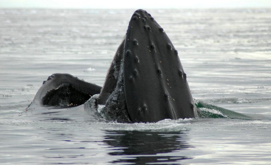 Verschiedene Walarten haben verschiedene Bartentypen. Die längsten Barten sind bei Grönlandwalen zu finden, die kleinsten bei Zwergwalen. Buckelwale, die sehr häufig ihre Barten bei Fressen zeigen, liegen eher in der Mitte. Bild: Michael Wenger