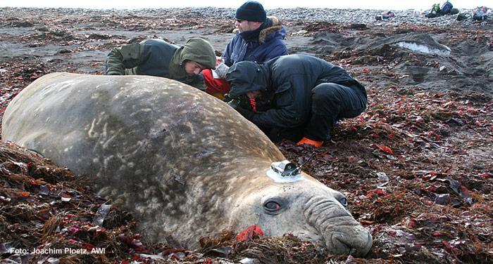 Seeelefant wird vermessen