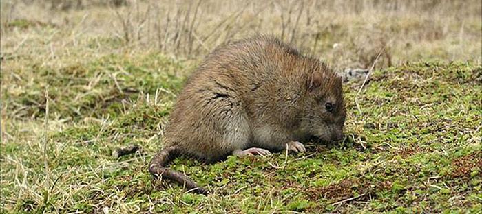 Ratten in South Georgia