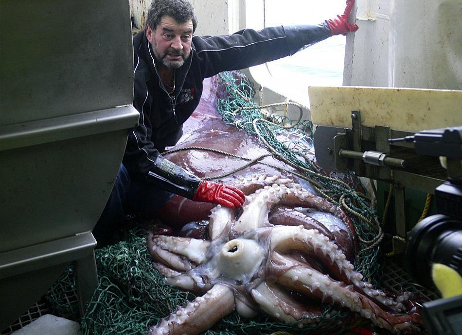 Gut zu erkennen ist das Maul des Riesentintenfisch.
