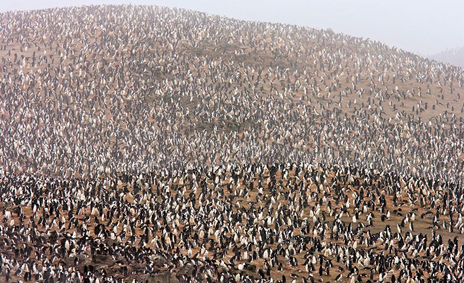 Eine der grössten Pinguinkolonien der Welt liegt auf Zavodovski und besteht aus rund 2 Millionen Zügelpinguinen. Diese brüten im Schatten von Mt. Curry wegen des warmen Bodens und des Krillreichtums rund um die Inseln. Bild: National Geographic Society