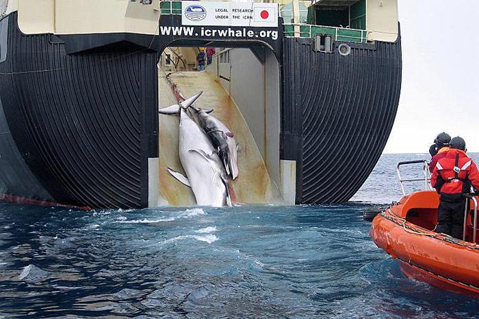 erlegte-Wale-Mutter-mit-Kalb