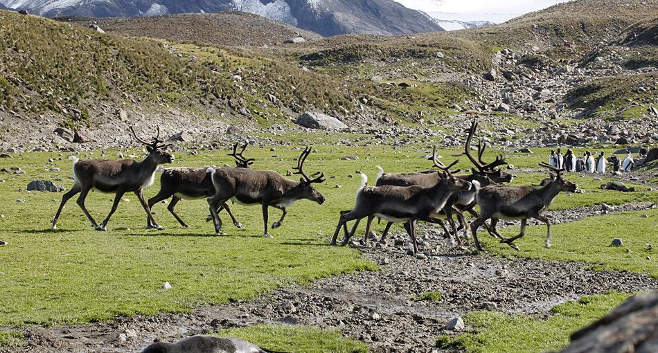 Binnen 100 Jahren hat sich die Population von anfänglich 10 Tiere auf über 6'600 Rentiere vergrössert.