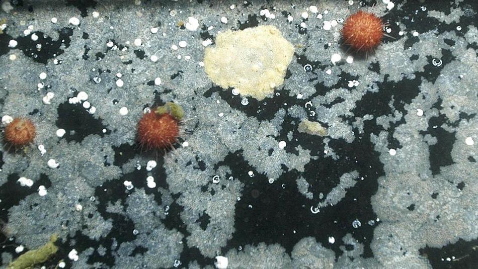 Wo sich einst bunte Mosstierchen ansammelten ist heute nur noch eine grau-weisse «Wüstenlandschaft» vorhanden.