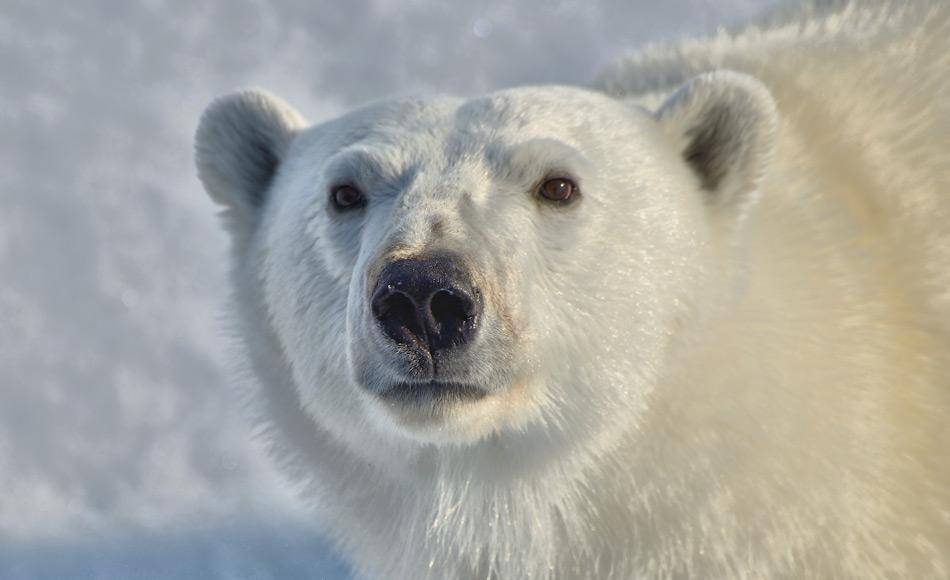 Die Arktis und seine Bewohner stehen durch den Klimawandel und andere Faktoren unter Druck, gemäss zahlreicher Forschungsdaten. Doch nun scheinen diese Daten wie von Geisterhand von den Servern der US-Behörden und –Verwaltungen zu verschwinden. Bild: Michael Wenger