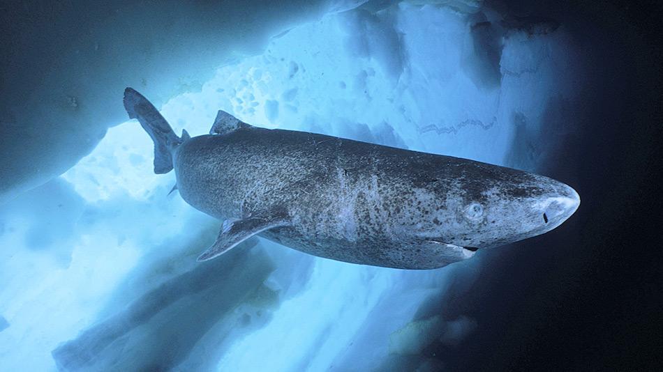 Grönlandhaie sind die einzigen echten Kaltwasserbewohner unter den Haien. Man weiss nur wenig über die Art. Nach neuesten Ergebnissen können die Tiere bis zu 400 Jahre alt werden. Bild: imago/coeans-image