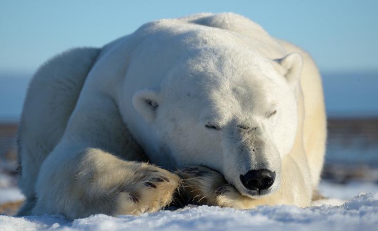 Eisbären in der kanadischen Arktis kommen vom äussersten Norden von Ellesmere Island bis ins