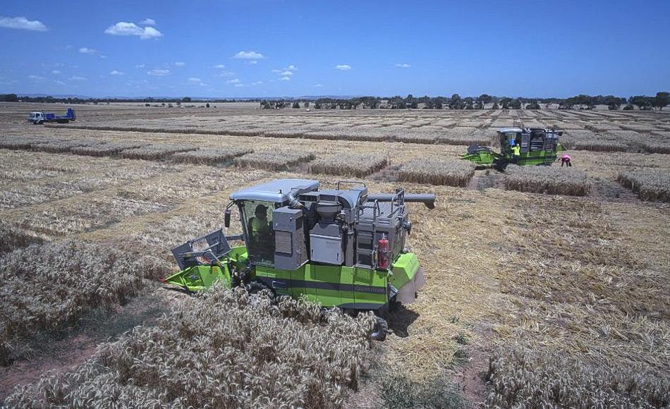 Pflanzenzüchter ernten die Pflanzen aus Samen der Grains Genbank in Versuchsparzellen mit kleinen Erntemaschinen. (Bild: Carl Saville)