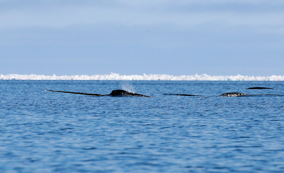 Die Studie untersuchte neben Robben und Eisbären auch das Risiko für Wale. Das Resultat: Narwale sind am stärksten gefährdet, Eisbären am wenigsten. Bild: Michael Wenger