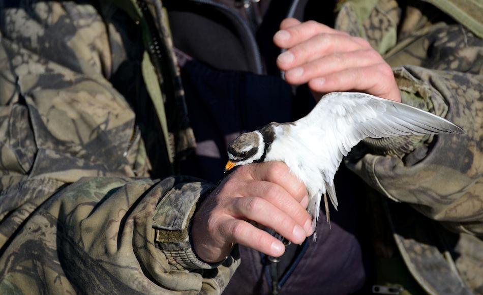 Das Beringen von Watvögeln wie diesem Regenpfeifer in Tschukotka sollen den Forschern wichtige Daten über die Zugeigenschaften der Vögel liefern. Wenn die Routen und Brutgebiete bekannt sind, können gezieltere Massnahmen zum Schutz eingerichtet werden. Bild: Michael Wenger