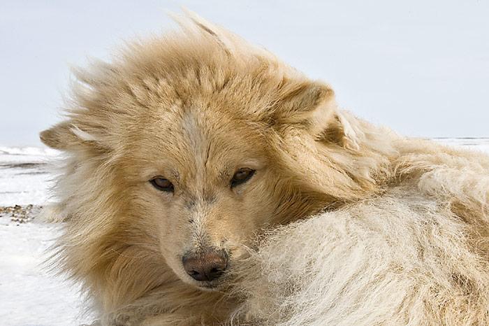 Chukotka-Husky