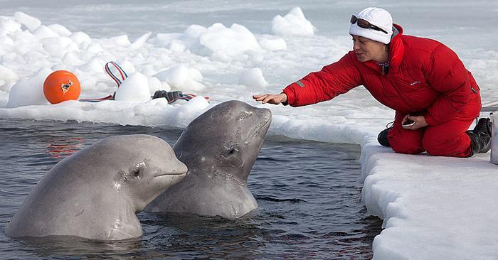 Belugas-am-Eisloch