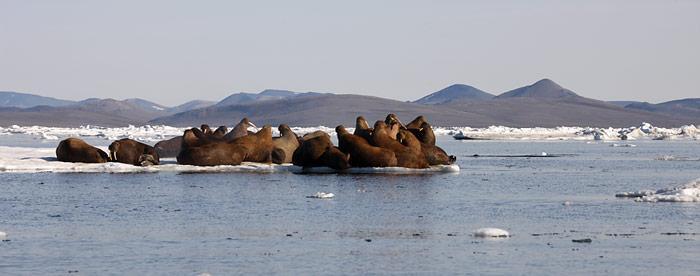 Wrangel-Insel_Walrosse