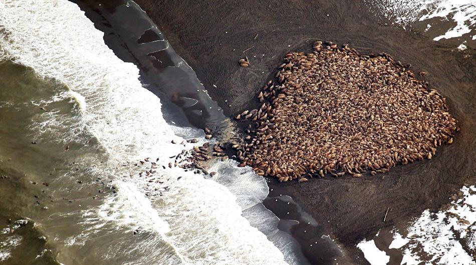 Am 23. September 20124 wurden an der Küste bei Point Lay erstmals ca. 1.500 Walrosse gezählt...