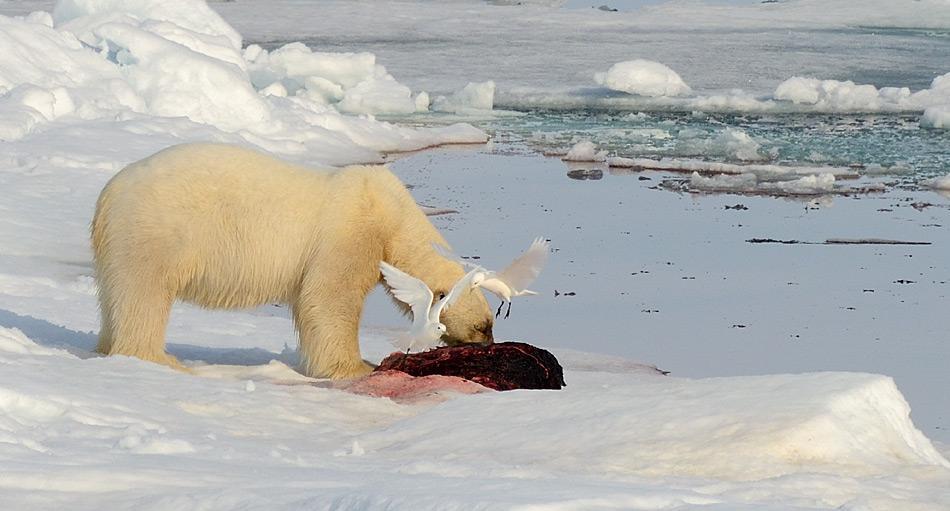 Eisbaer Kadaver