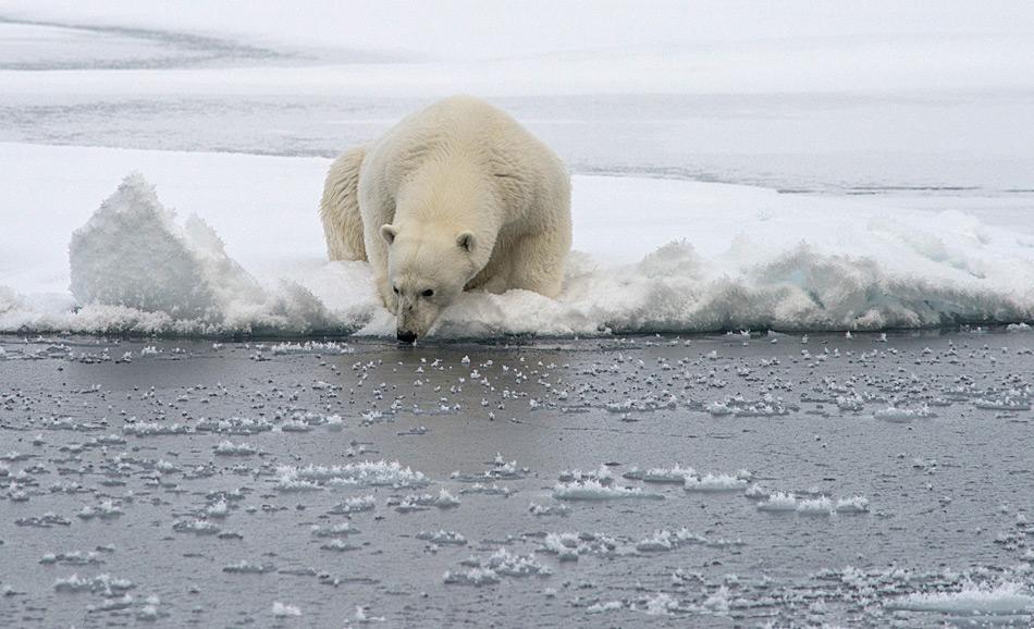 Ein Eisbär prüft die dicke des Meereises. Wird es ihn tragen? Das Meereis ist ein wichtiger Lebensraum für Eisbären von dem sie aus jagen. Für ihre Hauptbeute, den Bart- und Ringelrobben dient es als Ruhestätte. (Foto: Katja Riedel)