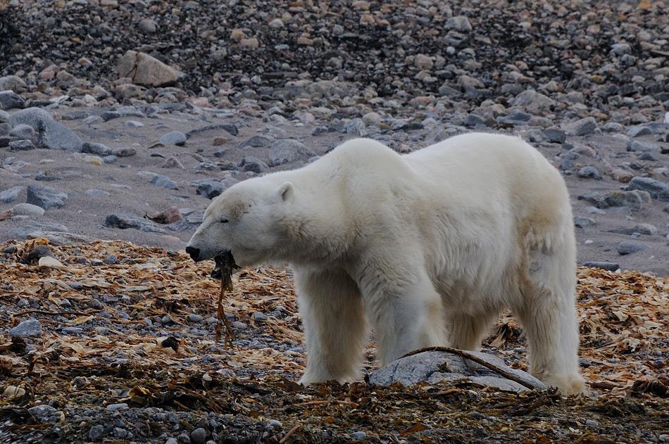 Eisbären darben in den Sommermonaten, wenn sie den Moment, aufs Eis zu gehen, verpasst haben. Wenn sie sonst nichts zu fressen finden, werden auch einmal Algen zur Nahrung. Bild: Michael Wenger