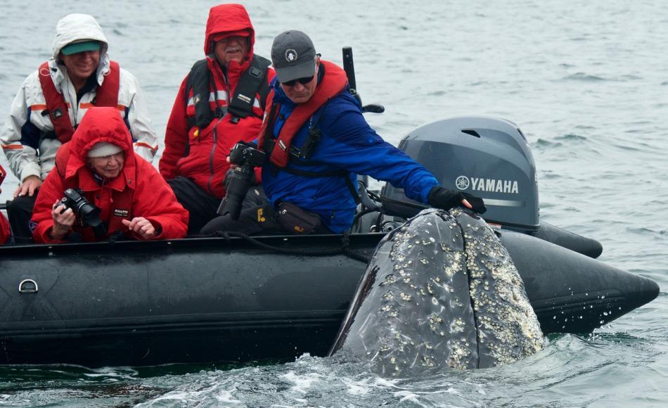 Grauwale sind oft neugierig und können nahe an Boote kommen. Dies hat sie zu den Lieblingen von Whale watching Touren gemacht.