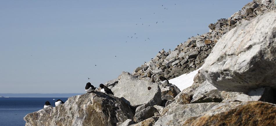 Die Krabbentaucher brüten in steilem Abhängen mit Geröll. Hier finden sie zwischen den Steinen genügend Schutz vor ihrem Hauptfeind, dem Polarfuchs.