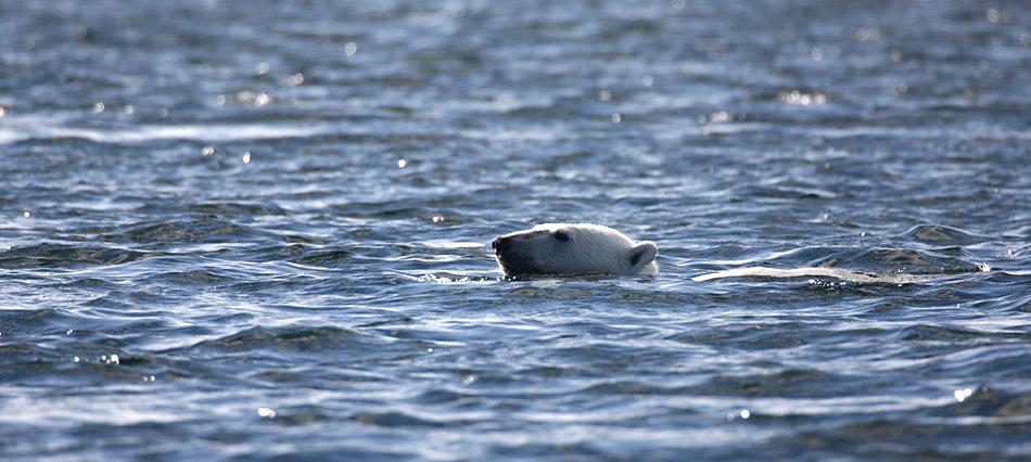 Durch den Klimawandel haben die Eisbären das Wasser sprichwörtlich bis zum Hals. Foto: Heiner Kubny, PolarNEWS