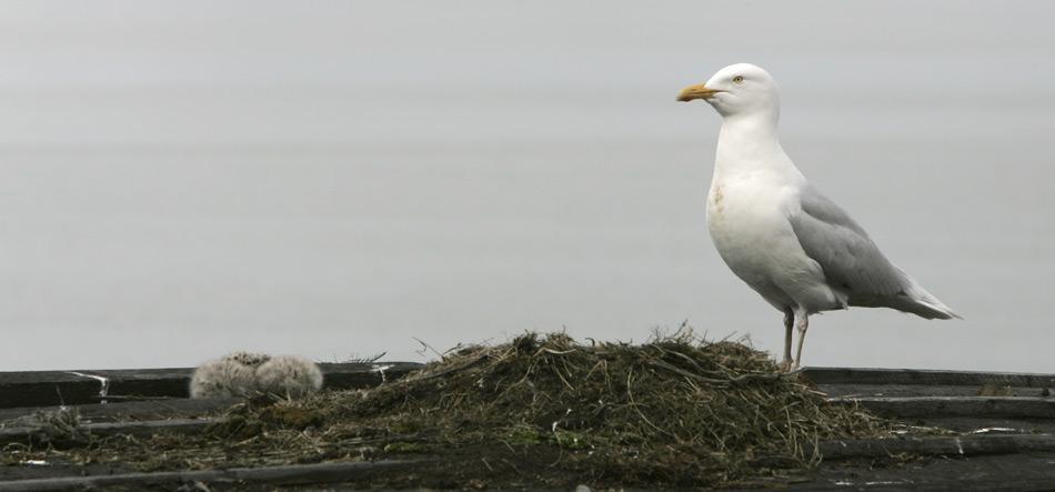 Die Eismöwe ist oft in der Nähe von Brutkolonien anderer arktischer Vogelarten zu finden, von deren Eiern und Jungvögeln sie sich und ihren Nachwuchs dann grösstenteils ernährt.