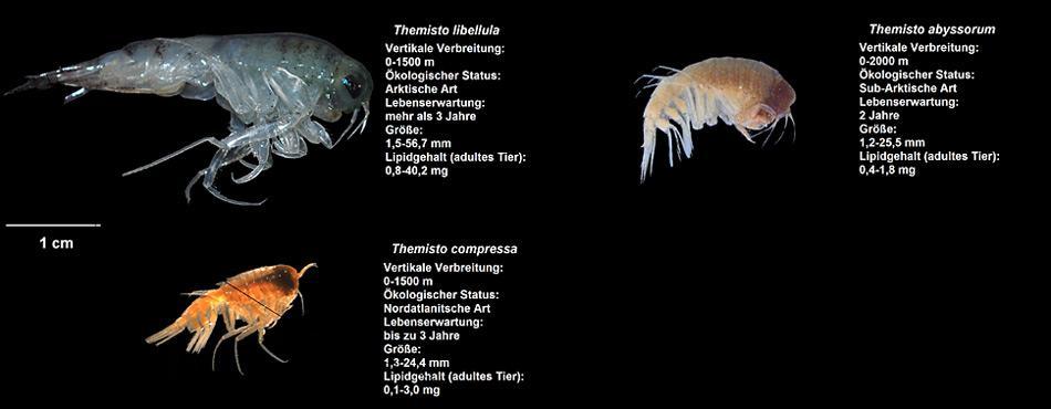 Grössenvergleich aller drei Flohkrebsarten, die im Rahmen der Studie untersucht wurden. Foto: Angelina Kraft, AWI