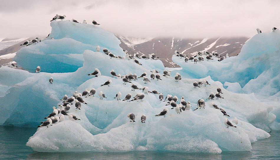 Dreizehenmöwen gehören zu den häufigsten Vogelarten in der Arktis. Sie leben in Kolonien in Felshängen, wo sie ihre Nester bauen.