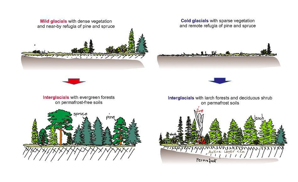 Wenn leichte Eiszeiten herrschten, konnte sich sukzessive eine dichte Waldgemeinschaft bilden, der Permafrostboden taute komplett auf und verschwand (links). Bei langen Eiszeiten schützten die Lärchen die Permafrostschicht und daher konnten sich nur flachwurzelnde Bäume und Gebüsche etablieren. Grafik: U. Herzschuh