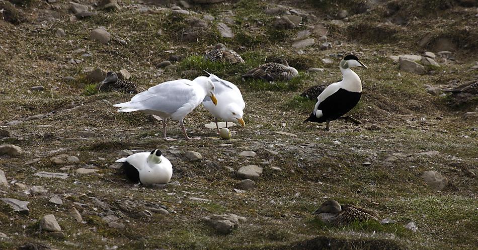 Eine andere Gefahr für die Gelege sind Eismöwen und Polarfüchse die es auf Eier und Küken abgesehen haben.