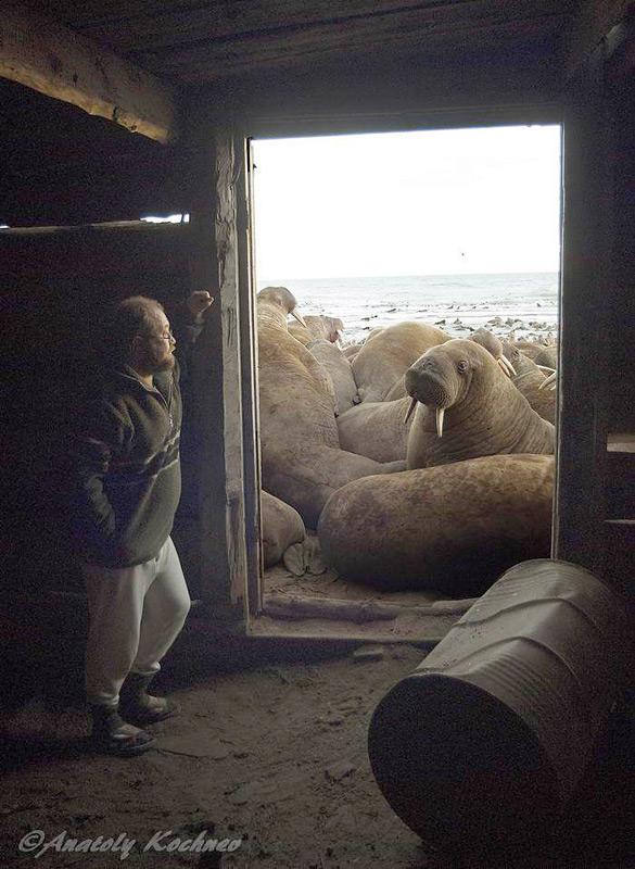 Der russische Wissenschaftler Anatoly Kochnev ist einer der führenden Spezialisten für Eisbären und Arktische Biologie im russischen Beringia National Park Chukotka. Neben seiner Tätigkeit für den Nationalpark arbeitet er für die russische Akademie der Wissenschaften, Institut für biologische Probleme im Norden. Bild Anatoly Kochnev