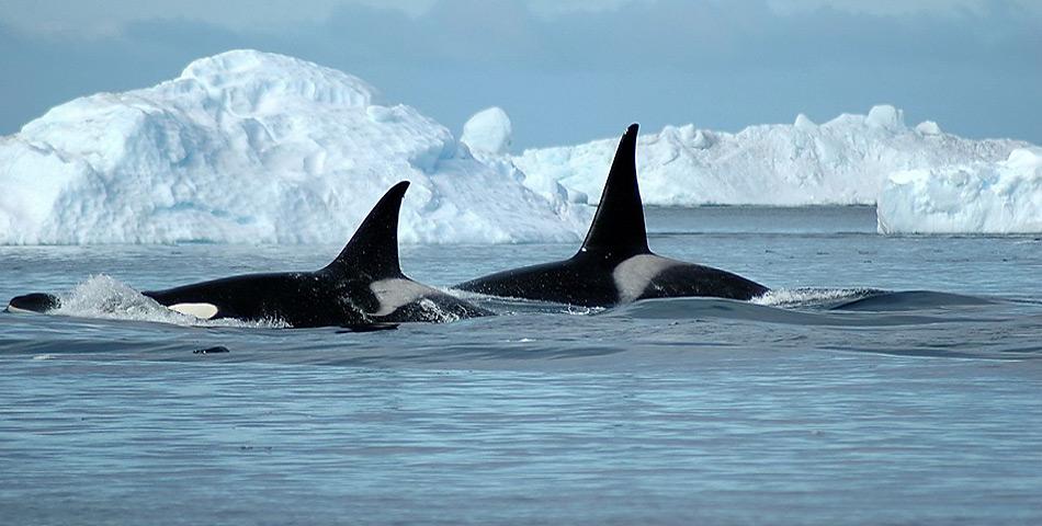 Orcas tragen ihren Übernamen «Killerwal» zu unrecht.