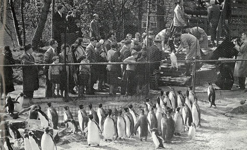 Grosser Andrang zum 40-jährigen Jubiläum des ersten geschlüpften Königspinguin im Zoo von Edinburgh.