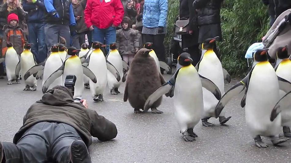 Pinguinparaden sind auch heute noch äusserst beliebt und werden von vielen Kindern begleitet, wie hier im Zoo von Zürich.