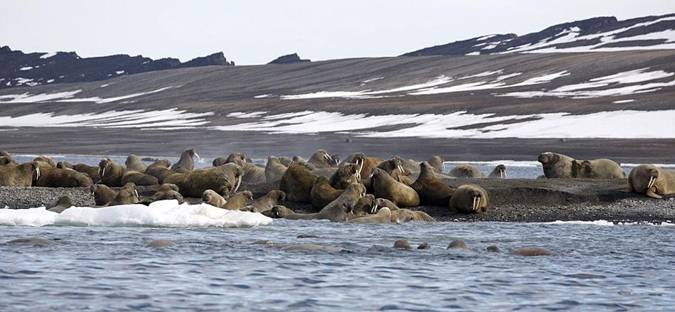 Der geheimnisvolle und für viele Menschen noch völlig unbekannte Archipel des Franz-Josef Landes ist Russlands nördlichster Aussenposten im arktischen Eismeer. Seit noch nicht mal zwanzig Jahren sind diese Inseln dem Besucher erst wieder zugänglich, denn die Umwälzungen in der damaligen Sowjetunion machten es möglich, diesen Teil der Arktis wieder zu bereisen.