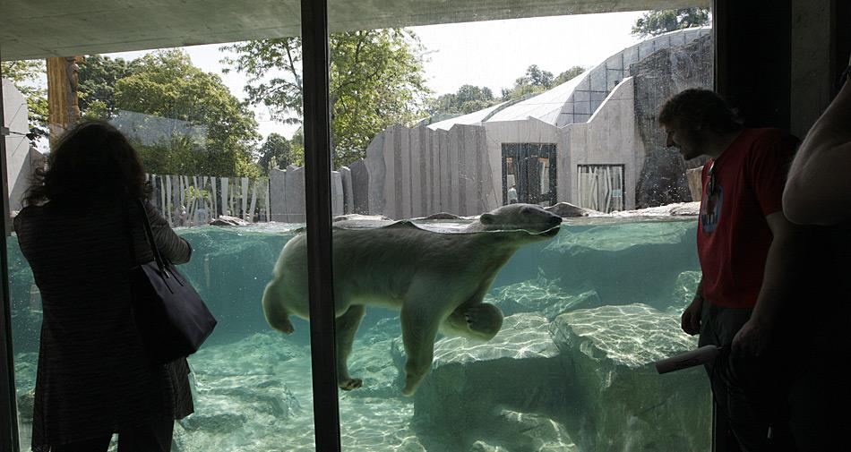 Hautnah dabei sein wenn Eisbären schwimmen, dies erleben die Besucher des Tiergarten Schönbrunn.