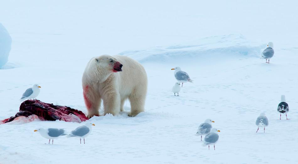 Die Hauptnahrung der Eisbären besteht aus Robben, dabei beteiligen sich regelmässig Möwen am Mal.